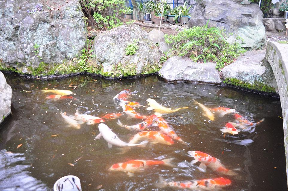 カゴプラ温泉轟温泉池と鯉